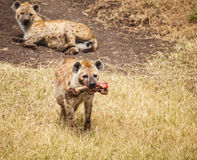 Spotted Hyaena in wild Royalty Free Stock Photo