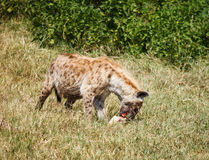 Spotted Hyaena in wild Stock Image
