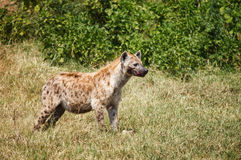 Spotted Hyaena in wild Royalty Free Stock Image