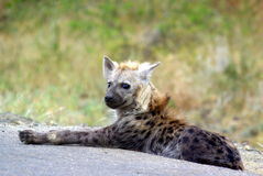 Southern african animals. Spotted hyaena (youngster)  at Kruger National Park Royalty Free Stock Images