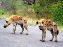 Southern african animals. Spotted hyaena (youngster)  at Kruger National Park Royalty Free Stock Image