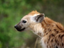Southern african animals. Spotted hyaena (youngster)  at Kruger National Park Royalty Free Stock Photos