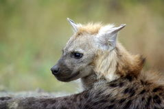 Southern african animals. Spotted hyaena (youngster)  at Kruger National Park Stock Images