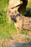 Spotted Hyaenas (Hyaena hyaena) Royalty Free Stock Photo
