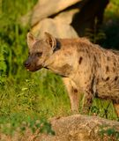 Spotted Hyaenas (Hyaena hyaena) Stock Photo