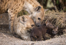 Spotted hyaenas Royalty Free Stock Photos