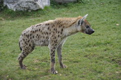 Spotted Hyena. A close-up of a stationary spotted hyena Royalty Free Stock Photography
