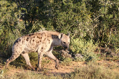 Spotted Hyena. A male spotted hyena seen approaching it's den in Addo Elephant national park, South Africa Royalty Free Stock Images