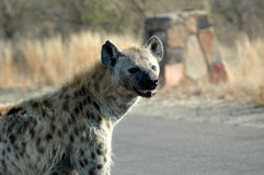 Spotted Hyena. At Kruger National Park, South Africa Stock Photo