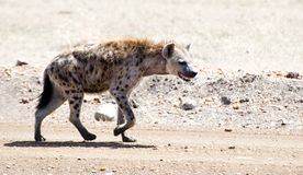 Spotted Hyena. A hyena walks along a roadway in the Masai Mara stock photos