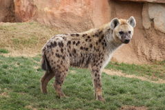 Free Spotted Hyena Stock Images - 14660734