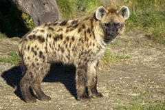 Spotted Hyena. Portrait of a spotted hyena stock photography