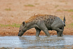 Spotted Hyena royalty free stock photos