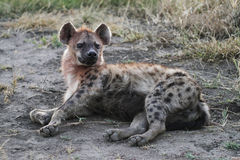 Spotted Hyena. One of the predators on the Ngorongoro Crater floor stock photo
