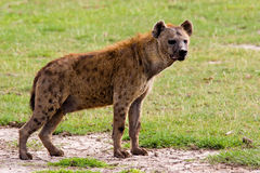 Spotted Hyena. A spotted hyena. Amboseli National Park, Kenya Stock Photography