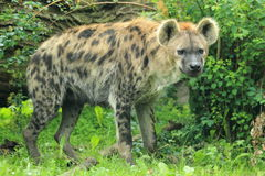 Spotted hyena. The spotted hyena in the grass Royalty Free Stock Photos