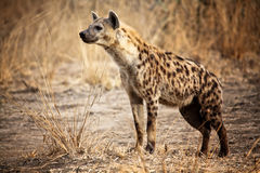 Spotted hyena. In luangwa national park zambia royalty free stock image