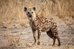 Spotted hyena. Portrait of spotted hyena in luangwa national park zambia stock photography