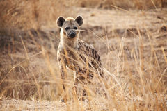 Spotted hyena. Portrait of spotted hyena in luangwa national park zambia Stock Image