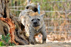 The spotted hyena Stock Photos