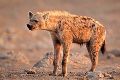 Spotted hyena stock image
