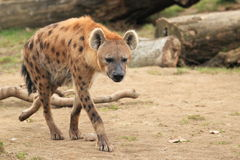 Spotted hyena. The strolling adult spotted hyena on the soil Royalty Free Stock Photo
