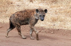 Spotted Hyena Stock Photos