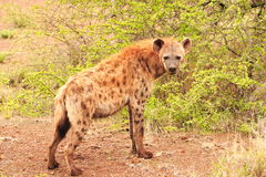 Spotted Hyena. Side on full portrait of a Spotted Hyena (Crocuta crocuta royalty free stock photo