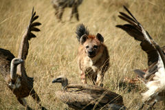 Spotted Hyena. Chasing unwelcome vultures from its dinner in the Masai Mara Reserve (Kenya Royalty Free Stock Images