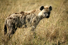 Spotted Hyena. Standing on the grass plains in the Masai Mara Reserve (Kenya Royalty Free Stock Photo