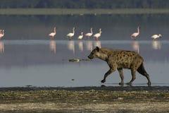 Spotted Hyena. Walking on lake shore Royalty Free Stock Photos