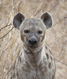 Spotted Hyena. The Hyaenidae is a mammalian family of order Carnivora. The Hyaenidae family, native to both African and Asian continents, is divided into the Royalty Free Stock Image