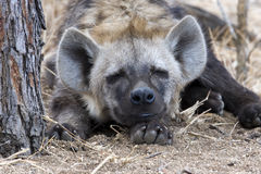 Free Spotted Hyena Stock Photo - 6994990