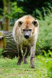 Spotted Hyena Royalty Free Stock Photo