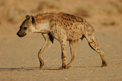 Spotted hyena. (Crocuta crocuta) walking, Kalahari, South Africa stock photos