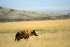 Spotted hyena, Amboseli National Park, Kenya Stock Images