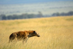 Spotted hyena, Amboseli National Park, Kenya Royalty Free Stock Photo