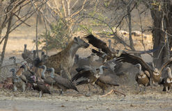 Spotted Hyena amongst White-backed Vultures. Spotted Hyena (Crocuta crocuta) amongst White-backed Vultures (Gyps africanus) chasing them off a kill Royalty Free Stock Photo