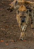 Spotted Hyena approaching Stock Images
