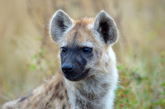 Spotted Hyena Baby close up Head Shot, South Africa Royalty Free Stock Image