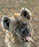 Hyenas royalty free stock photos