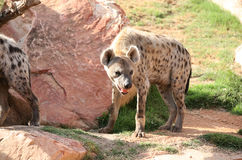 Spotted hyena in biopark Stock Photo