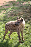 Spotted hyena in Biopark Stock Photos