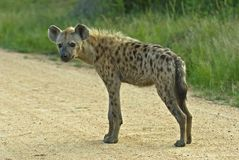 Spotted Hyena Biyamiti Weir Royalty Free Stock Photography