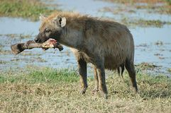 Spotted Hyena with bone Royalty Free Stock Photography