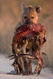 Spotted Hyena with bushbuck. Spotted Hyena in dirt road with dropped bushbuck carcass from the front Stock Photography
