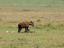 Spotted Hyena on carcase. On the Masai Mara, Kenya Stock Image