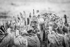 Spotted hyena at a carcass with Vultures in black and white. Royalty Free Stock Photo