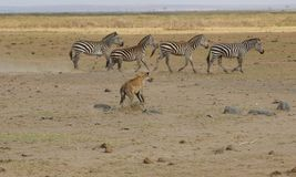 Hyena Chasing Zebras royalty free stock images