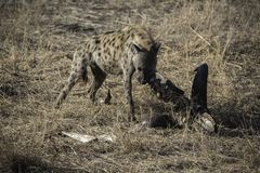 Spotted hyena chewing bones Stock Photo